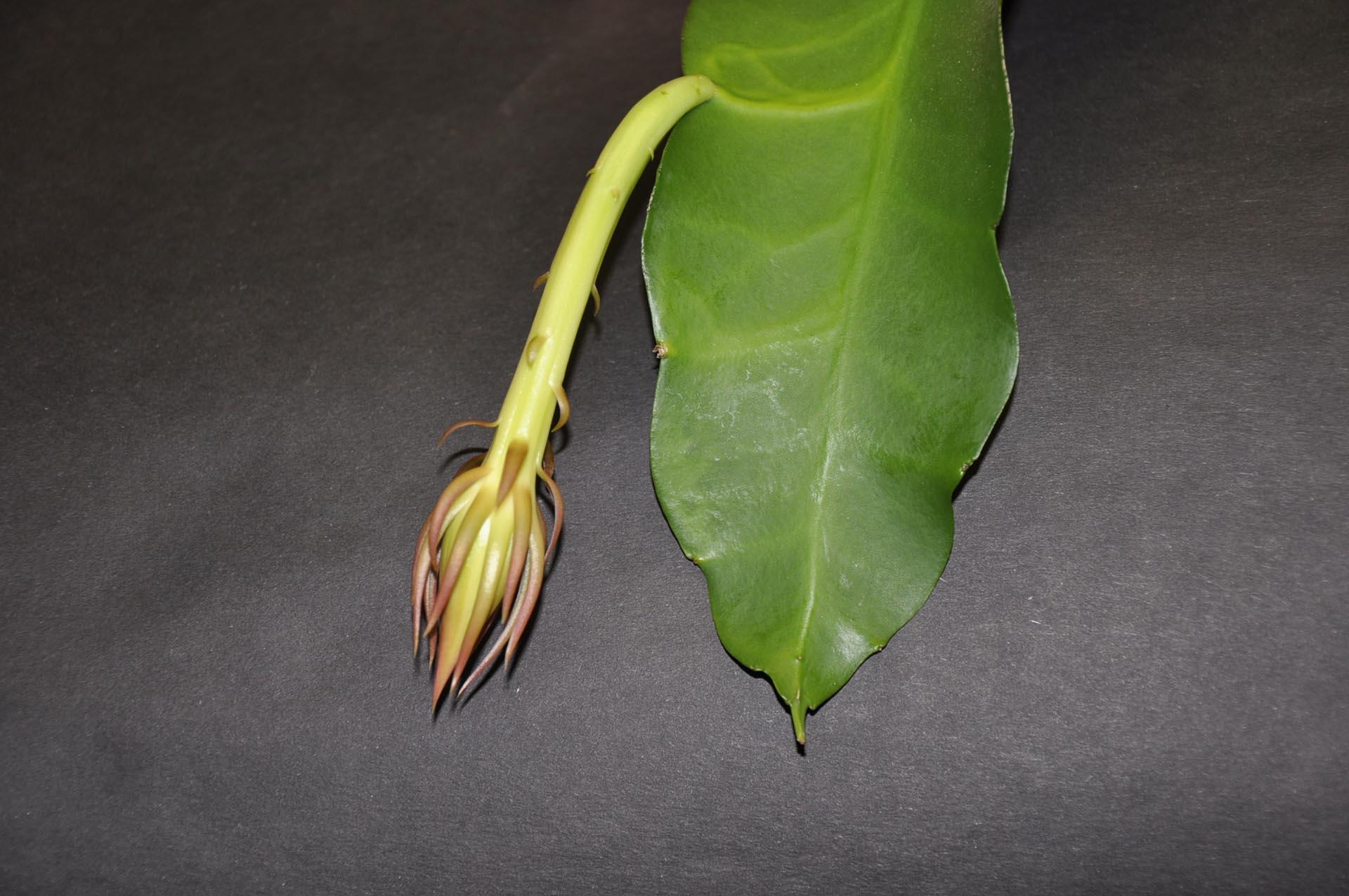 Délka pupene = 11cm